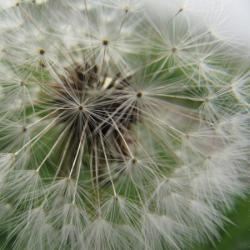Flore du Parc national de la Vanoise