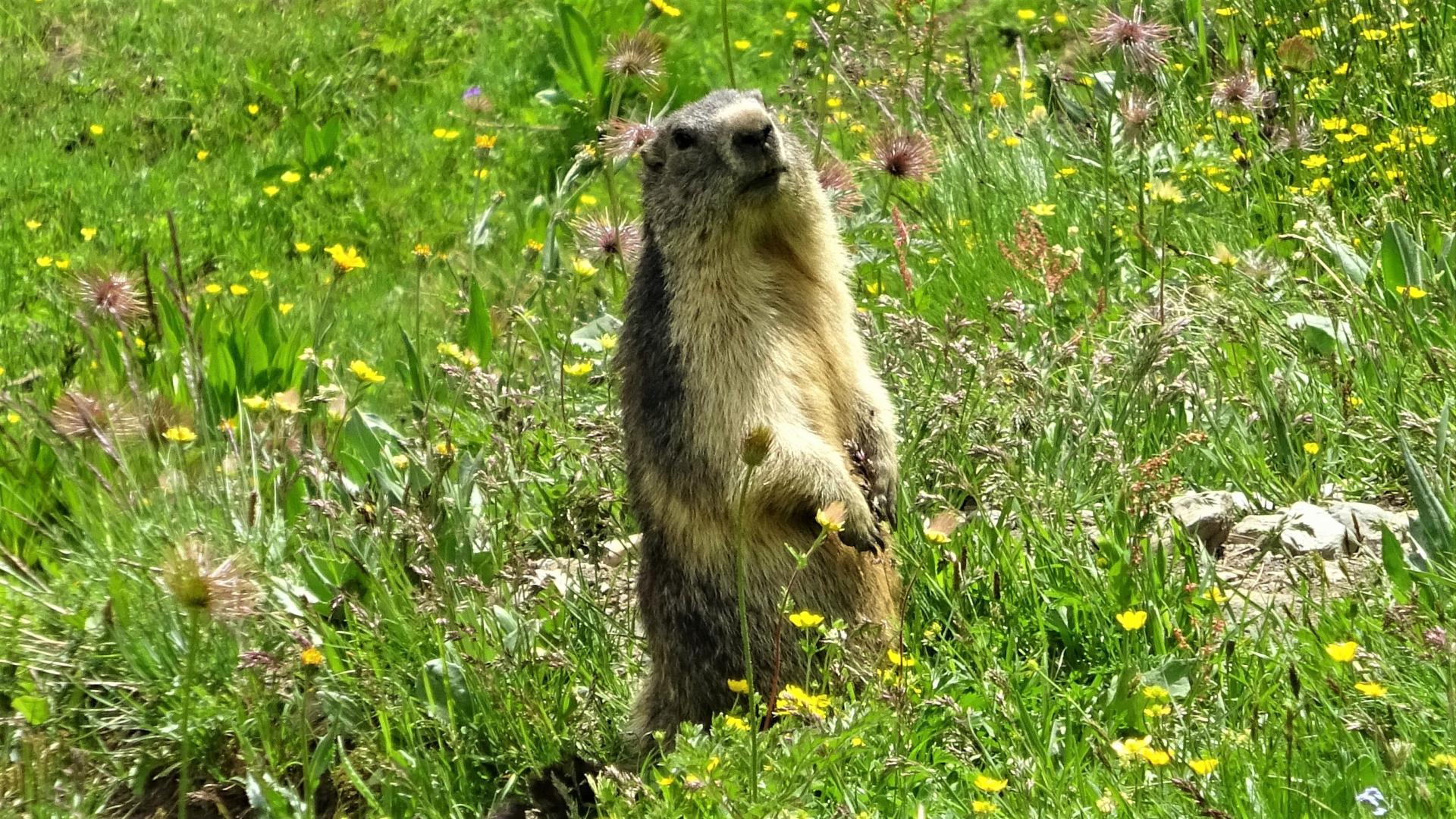 Marmotte 1 2