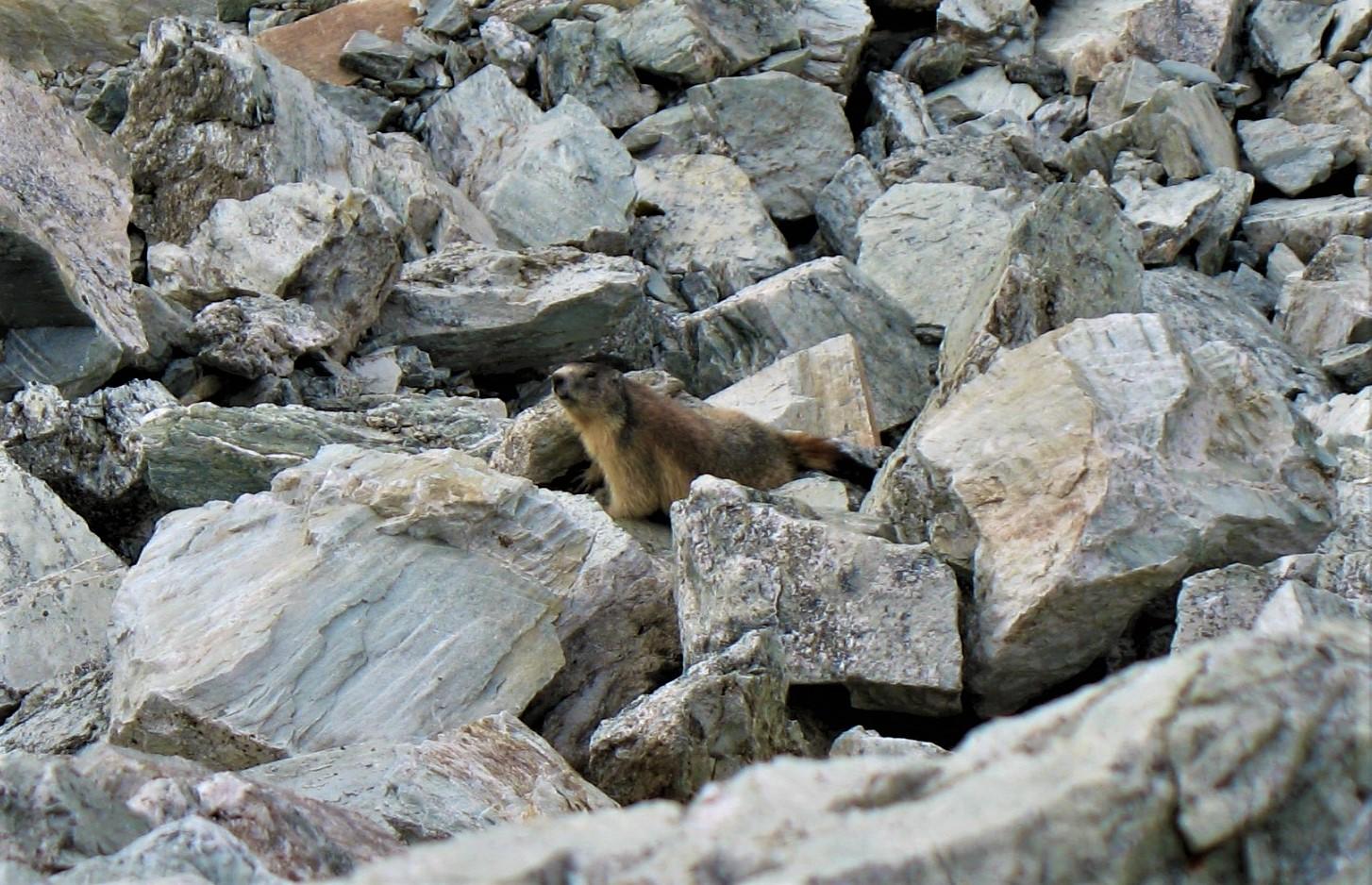 Marmotte 3 1
