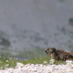 Marmotte 3