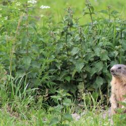 Marmotte 4