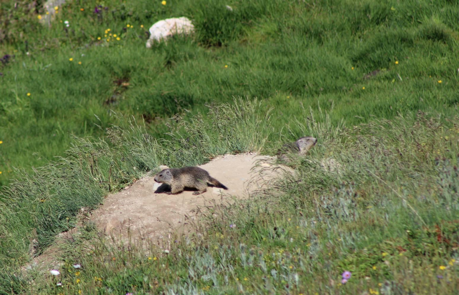 Marmotte 6
