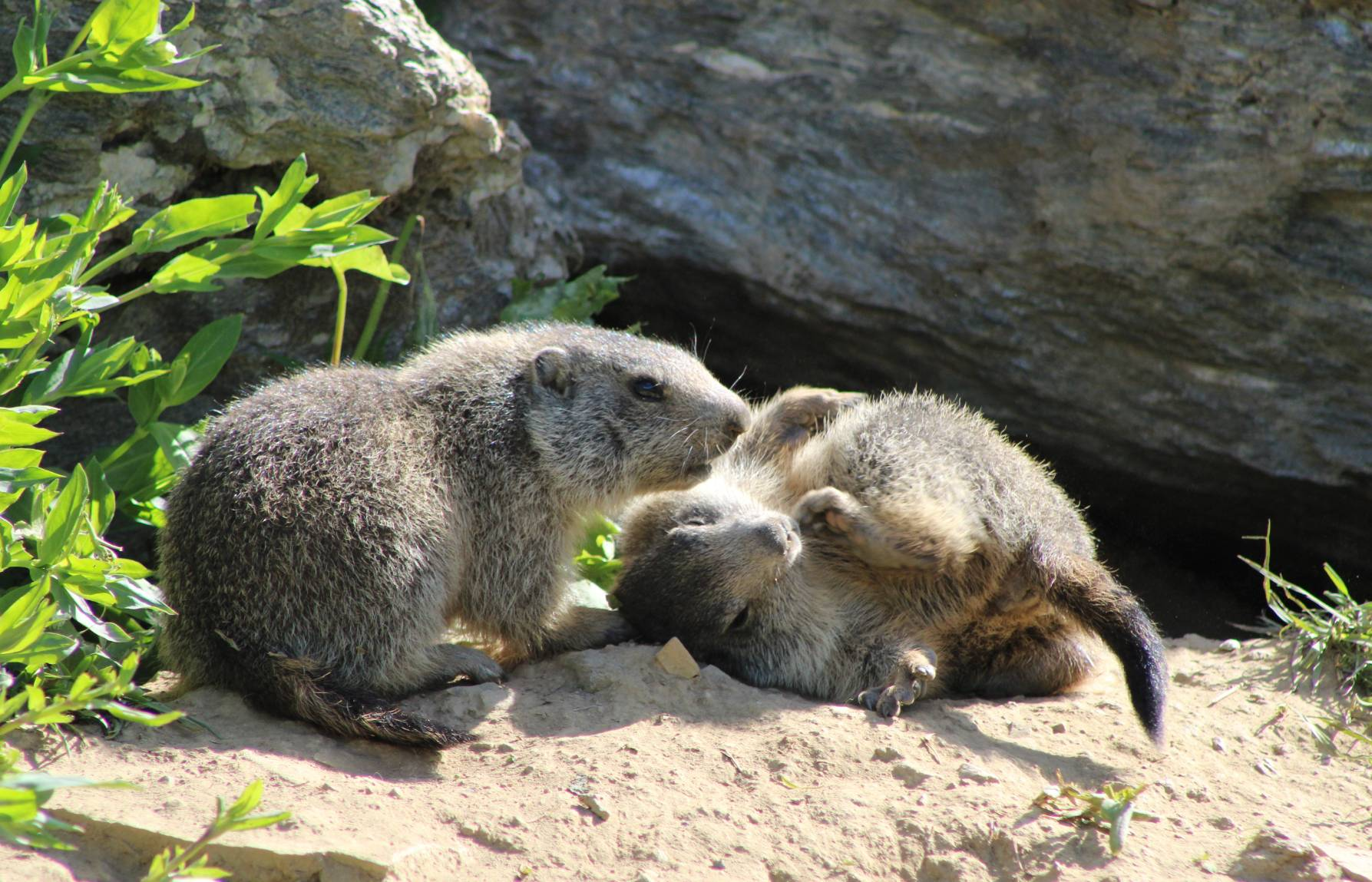 Marmotte 8