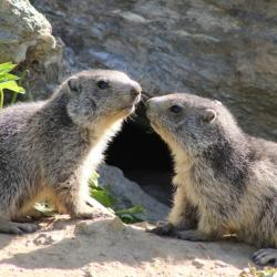 Marmotte 9